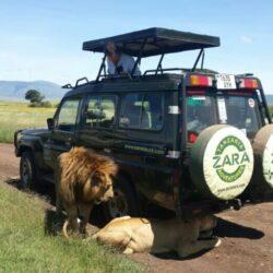 Zara Tours Safari Lions